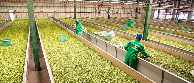 Rubaya-Nyabihu Tea Company Ltd.